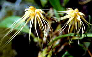 Bulbulbophyllum vaginatum  Malaya