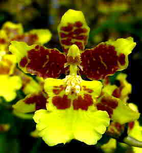 Oncidium spacelatum